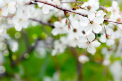 The blossoming branch of a cherry. Stock Photos