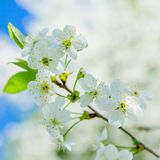Blossoming branch of a cherry, close up. Royalty Free Stock Photos