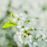 Blossoming branch of a cherry, close up. Royalty Free Stock Photography