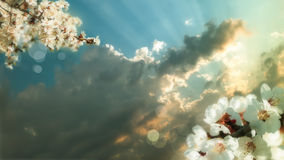 Blossoming branch of a cherry flower on background of sunset Royalty Free Stock Photos