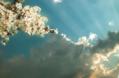 Blossoming branch of a cherry flower on background of sunset Royalty Free Stock Images