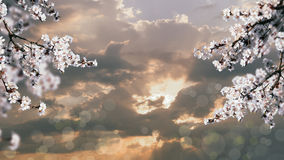Blossoming branch of a cherry flower on background of sunset Stock Photo