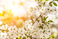Blossoming branch with cherry flowers Royalty Free Stock Image