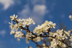 Blossoming branch with cherry flowers Stock Photography