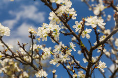 Blossoming branch with cherry flowers Stock Photos