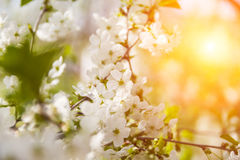 Blossoming branch with cherry flowers Royalty Free Stock Images