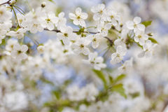 Blossoming branch with cherry flowers Stock Image