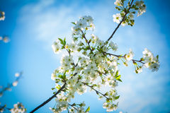 Blossoming branch of cherry tree on background of sky Stock Photo