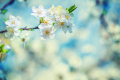 Blossoming branch of cherry tree on blurred background instagram Stock Photos