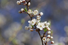 Blossoming branch of cherry tree Royalty Free Stock Image