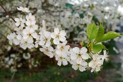 Blossoming branch of the cherry tree in garden Royalty Free Stock Image