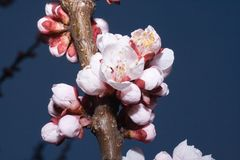Blossoming branch of cherry tree (macro). Blossoming spring branch of cherry tree against natural green background Stock Photos