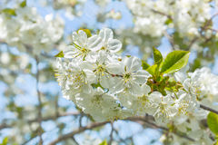 Blossoming branch of a cherry tree in the orchard Stock Image