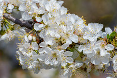 Blossoming branch of a cherry tree Stock Photography