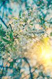 Blossoming branch of cherry tree at sunrise instagram stile Stock Photography