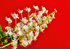 Blossoming branch of a chestnut tree on an red background Royalty Free Stock Photography