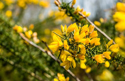 Blossoming branch of a Common broom shrub Royalty Free Stock Image