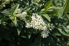 Blossoming branch of privet in late spring. Blossoming branch of common privet  in late spring stock photos