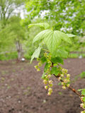 Blossoming branch of currant Royalty Free Stock Photos