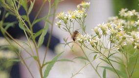 Blossoming branch with flower of cherry tree and a bumblebee. Bumblebee on a branch. Bumblebee collecting nectar on stock footage