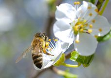 Blossoming branch with flower of cherry tree and a honey bee Stock Image