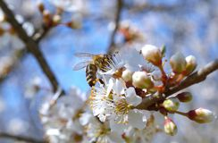 Blossoming branch with flower of cherry tree and a honey bee Stock Photos