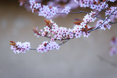 Blossoming branch with with flowers of Prunus cerasifera Stock Images