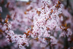 Blossoming branch with with flowers of Prunus cerasifera Stock Photography