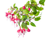 Blossoming branch of a fuchsia  Alwin Stock Photography