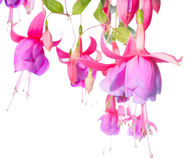 Blossoming branch of a fuchsia Royalty Free Stock Photos