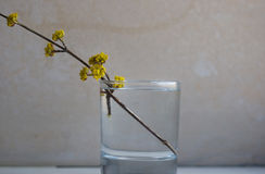 Blossoming branch in a glass with water Royalty Free Stock Image
