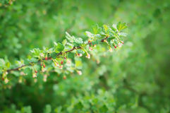 Blossoming branch of gooseberries Royalty Free Stock Photography