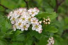 Blossoming branch of a hawthorn. In day Royalty Free Stock Image
