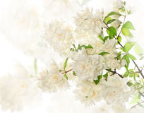 Blossoming branch of jasmine flowers blurred Stock Photos