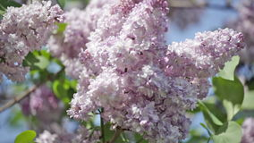Blossoming branch of a lilac stock video