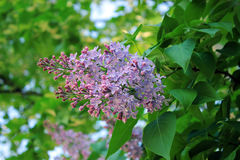 Blossoming branch of lilac Royalty Free Stock Photos