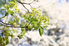 Blossoming branch of a maple. Stock Photo