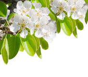Blossoming branch of a pear tree. Making a border isolated on a white background Royalty Free Stock Image