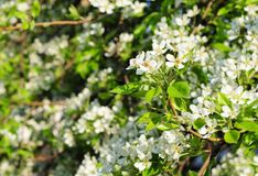 Blossoming branch of pear tree against blue sky at sunset light. Stock Images