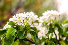 Blossoming branch of a pear tree. Stock Image