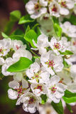 Blossoming branch of a pear tree. Stock Photos