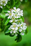 Blossoming branch of a pear tree. Royalty Free Stock Images
