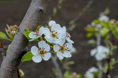 Blossoming branch of a pear tree Royalty Free Stock Photography