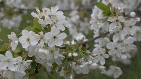 Blossoming Branch of Pear Tree stock video