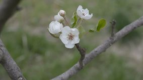 Blossoming Branch of Pear Tree stock footage