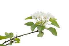 Blossoming branch of pear wood Stock Photos