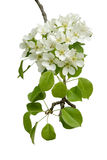 Blossoming branch of pear wood Stock Image