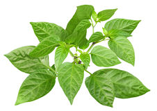 Blossoming  branch of pepper Royalty Free Stock Images