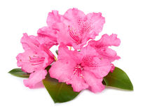 The blossoming branch of a pink oleander Stock Photography