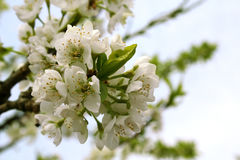 Blossoming branch of plum Stock Photography